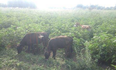 600 hektar pambıq sahəsini məhv edirlər